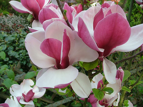 Magnolia ruby