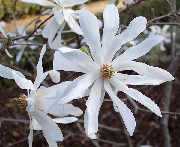 Magnolia_stellata_RJB