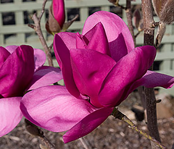 magnolia-royal-purple