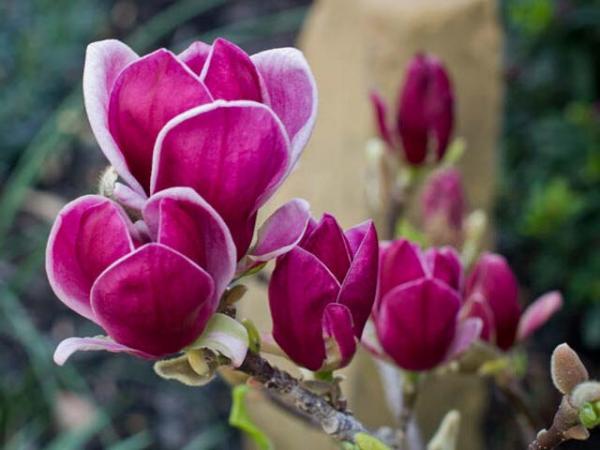 magnolia-soulangeana_magnolia-genie-flower