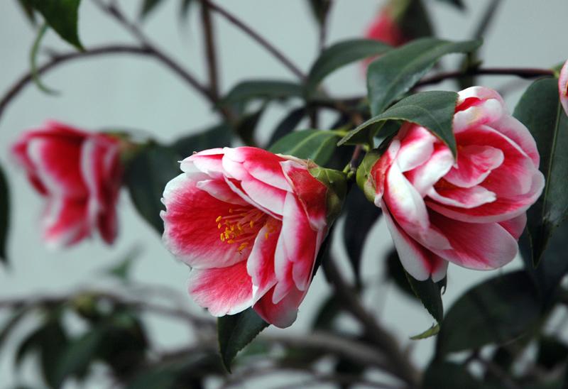 Camellia101-2